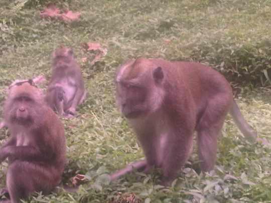 Inilah senior monyet Curug Nangka Bogor yang sedang ngobrol dengan kawanlama95