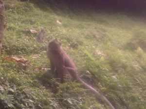 Aksi menguntit monyet di curug nangka