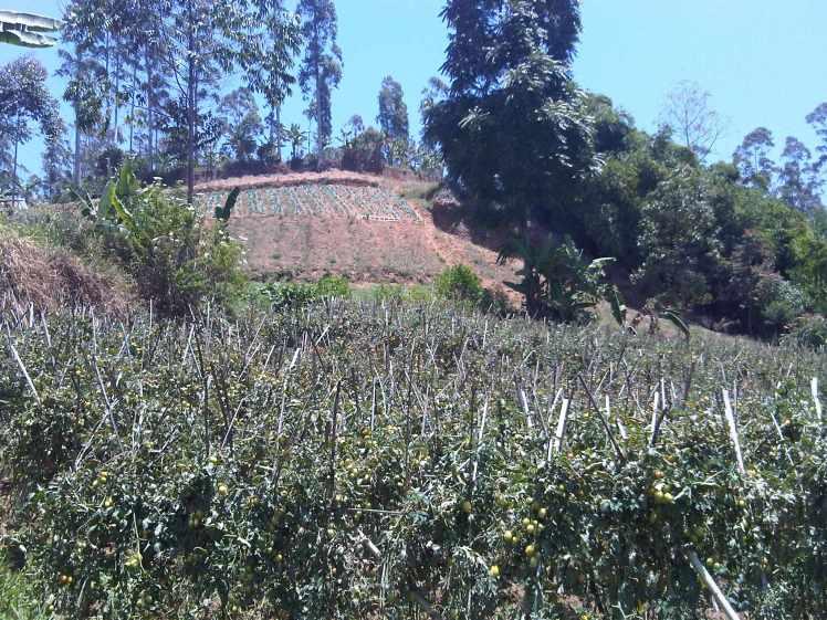 Kebun Percobaan Pasir Sarongge desa ciputri pacet cianjur