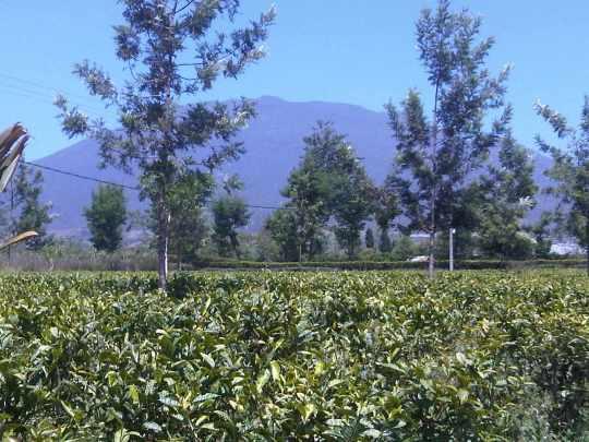 Kebun Teh  Pasir Sarongge  Desa Ciputri, Kec Pacet Cianjur